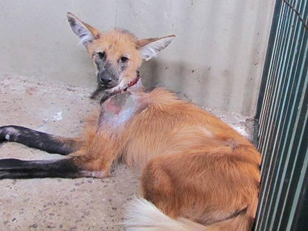 Loba-guará ferida na região do pescoço por bala; animal foi encontrado em Planaltina, no DF (Foto: Zoológico de Brasília/Divulgação)