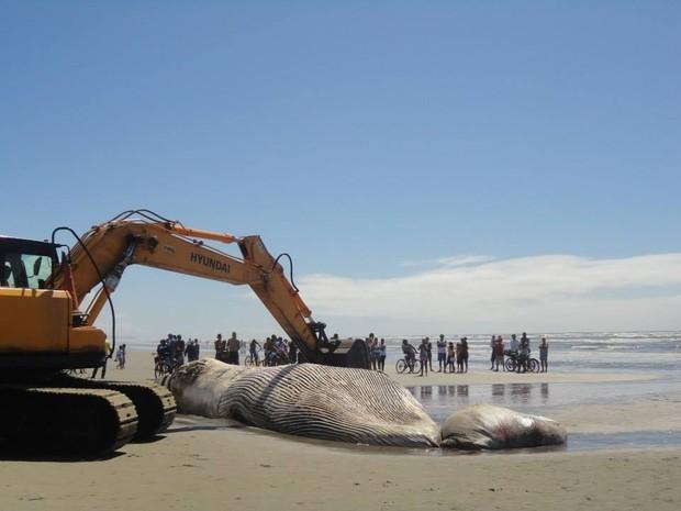 Retroescavadeira foi usada para remover corpo de baleia (Foto: Alessandra Leal / Arquivo Pessoal)