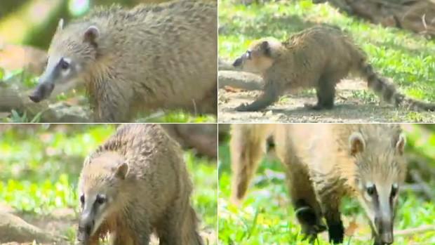 g1 quatis vivem em bandos no parque nacional da ferradura na