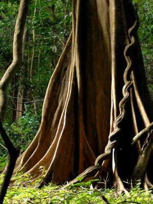 Floresta - trilha ecoturismo - RDSM (Foto: EduCoelho/Instituto Mamirauá)