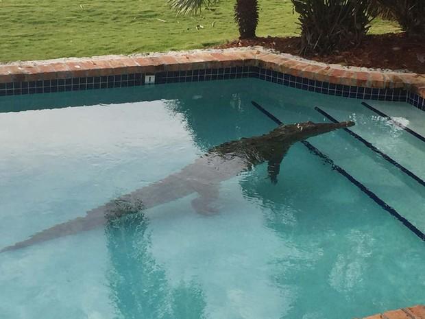 G1 morador da fl rida encontra crocodilo na piscina de for Piscina en casa