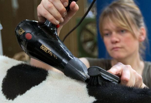 Vacas ganharam tratamento vip antes de concurso (Foto: Friso Gentsch/DPA/AFP)