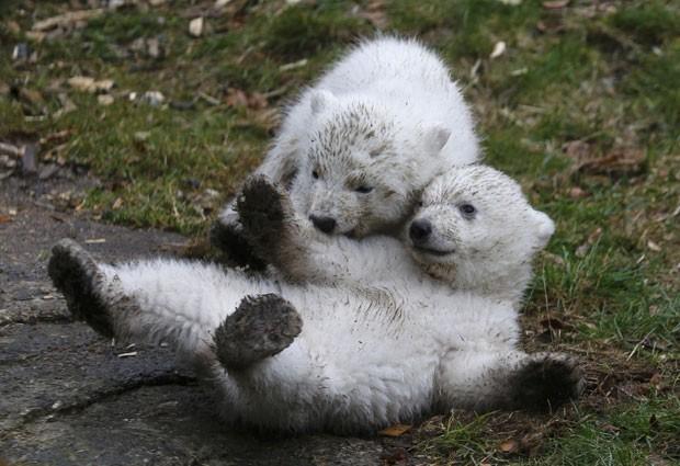 O urso polar é uma espécie ameaçada de extinção, de acordo com ambientalistas (Foto: Michael Dalder/Reuters)