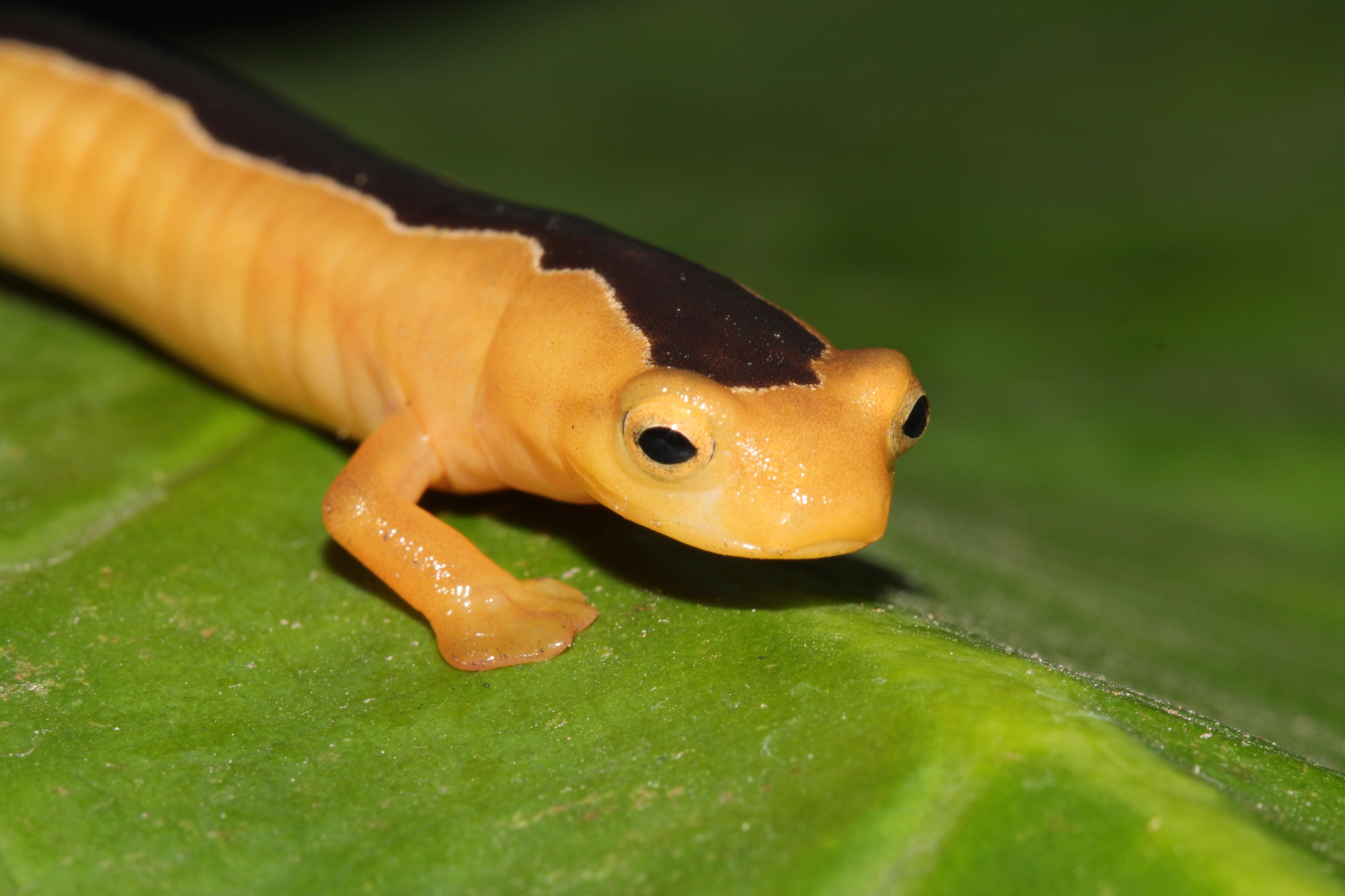 A salamandra Jackson (Bolitoglossa jacksoni) estava sumida há 42 anos (Foto: Divulgação/ GWC)