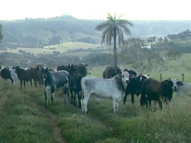 Produtor rural alegou que 12 cabeças de gado foram furtadas de sua propriedade (Foto: Luciano Tolentino/EPTV)