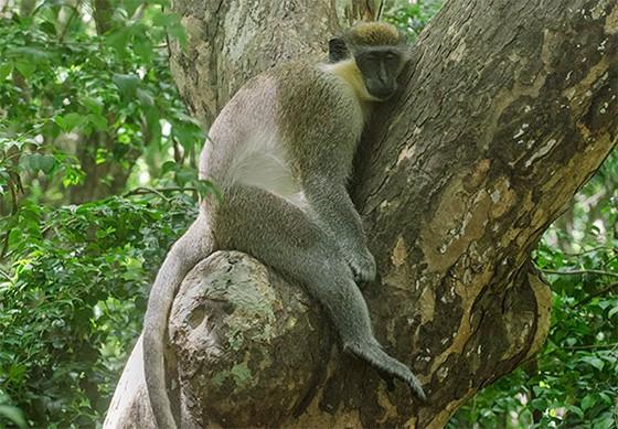 Macaco-verde dormindo em uma das árvores da Reserva de Vida Selvagem, em Barbados  (Foto: © Haroldo Castro/Época)