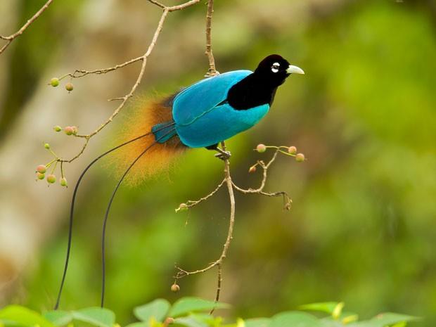 Exemplar da espécie ave-azul-do-paraíso (Paradisaea rudolphi) (Foto: Tim Laman, National Geographic/AP)