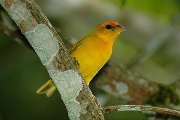 Vive nos campos secos e sujos, de culturas e também na caatinga (Foto: Rudimar Narciso Cipriani)