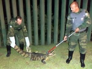Policiais tiveram trabalho para resgatar o jacaré. (Foto: Roberto Martins/ Polícia Militar Ambiental)