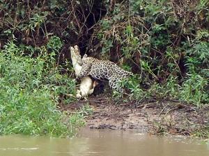 Onça capturou jacaré às margens de rio no Pantanal (Foto: Juliano Macedo/ VC no G1)
