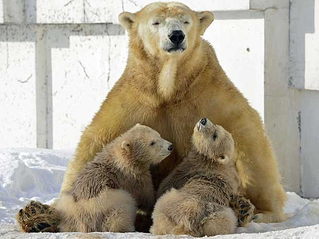 O Zoológico de Maruyama, em Sapporo, no norte do Japão, exibe pela primeira vez ao seus visitantes os filhotes de 'Lala'. Os ursinhos polares, novas atrações no complexo, têm apenas 3 meses de idade e não desgrudam da mãe. O zoo pretende fazer uma campanha para batizar os bichinhos. (Foto: Kyodo News / AP Photo)