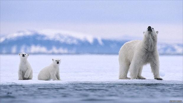A fotógrafa e ambientalista americana Jenny E Ross, junto com Andrew Derocher, professor de ciências biológicas na Universidade de Alberta, estão analisando como a mudança climática afeta a vida dos ursos polares e coloca o futuro da espécie em perigo. Acima, a família de ursos polares em um fiorde de gelo (Foto: Jenny Rose/BBC)