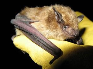 Hibernação faz com que morcegos não morram de raiva (Foto: Dylan George / divulgação)