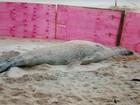 Debilitado no ES, elefante-marinho 'Fred' precisa de tratamento