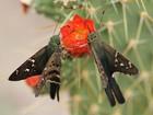 Livro Borboletas no Vale do Catimbau cataloga mais de 135 espécies em PE