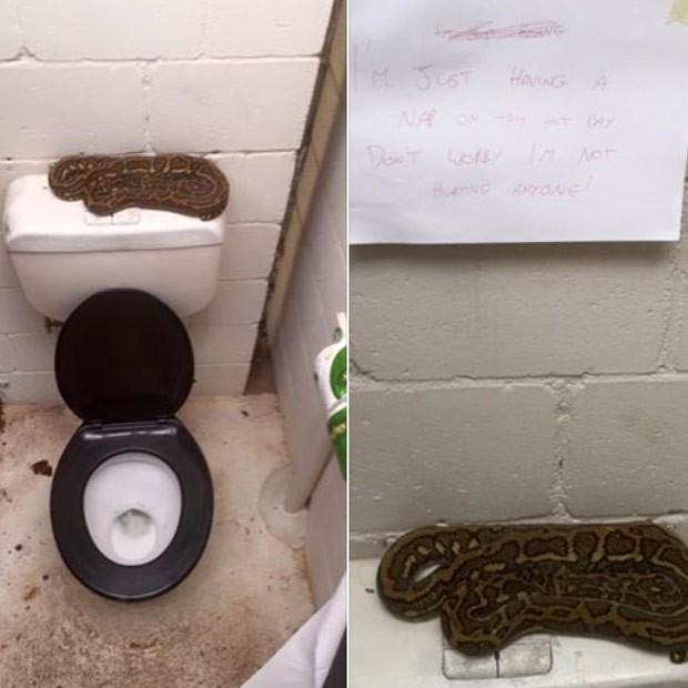 Australiano se deparou com cobra enrolada em cima da caixa de descarga de privada (Foto: Reprodução/Facebook/Sunshine Coast Snake Catchers 24/7)