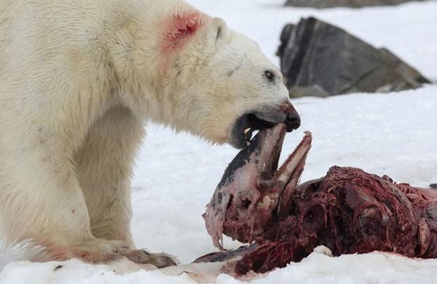 Esses cetáceos normalmente não fazem parte da alimentação dos ursos polares. O estudo sugere que, com a mudança climática, a espécie passe a fazer parte da dieta deles (Foto: Divulgação/Polar Research/Creative Commons)