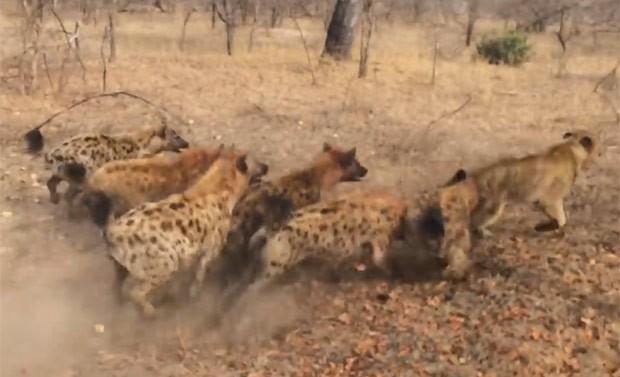 Hienas atacaram uma leoa por vez e levaram a melhor na batalha  (Foto: Reprodução/YouTube/Kruger Sightings)