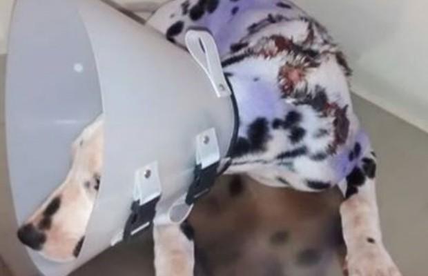 Cachorro teve 70% do corpo queimado com água fervendo em Anápolis, Goiás (Foto: Reprodução/Facebook)