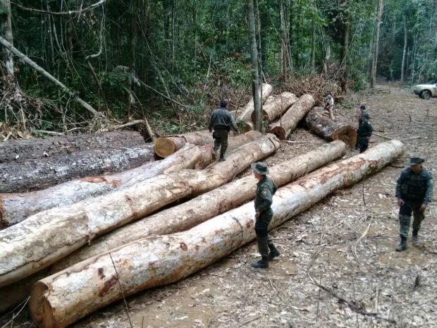 Toras estavam em uma área aberta no meio da mata da reserva Guariba Roosevelt, no noroeste de Mato Grosso (Foto: Fiscalização/Divulgação)
