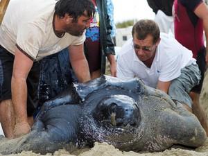 Uma tartaruga gigante de 320 kg e 2 metros de comprimento, procedente das ilhas de Trinidad e Tobago, no Caribe, é encontrada na França por veranistas em em praia de Arles, à beira do Mar Mediterrâneo. (Foto: Jerome Roux/AFP)