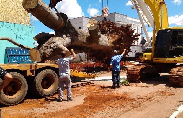 Aposentada faz empréstimo de R$ 10 mil para salvar árvore em Goianira, Goiás (Foto: Arquivo pessoal)