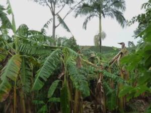 A chuva destruiu plantações de banana em Alfredo Chaves (Foto: Greicimar Penedo/VC no ESTV)