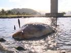 Baleia jubarte é encontrada morta em Vila Velha, ES