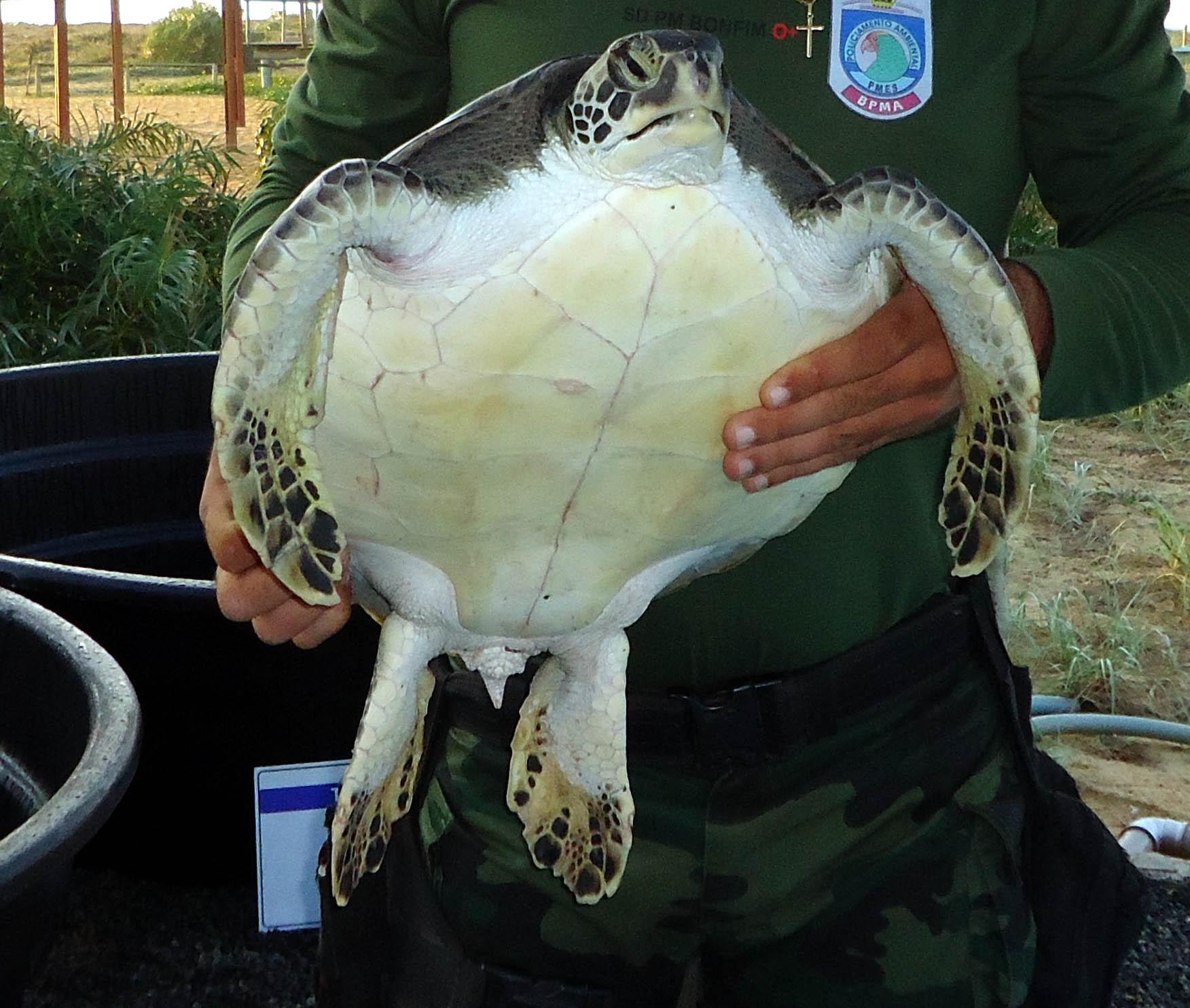 Tartaruga em extinção é apreendida com pescador. (Foto: Divulgação/ Polícia Ambiental)