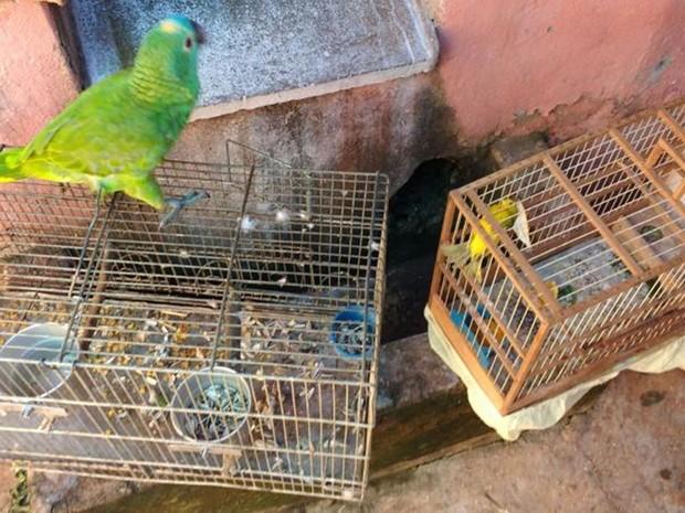 Aves apreendidas pela polícia em Paulo de Faria (Foto: Divulgação/Polícia Ambiental)
