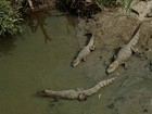 Após chuvas fortes, jacarés saem dos mangues em Florianópolis