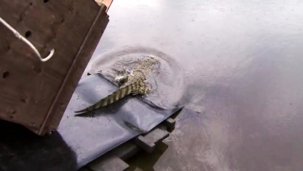 Jacaré foi solto em rio na Área Continental de Santos  (Foto: Reprodução / TV Tribuna)