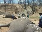 Sobe para 60 o total de elefantes mortos com cianeto no Zimbábue