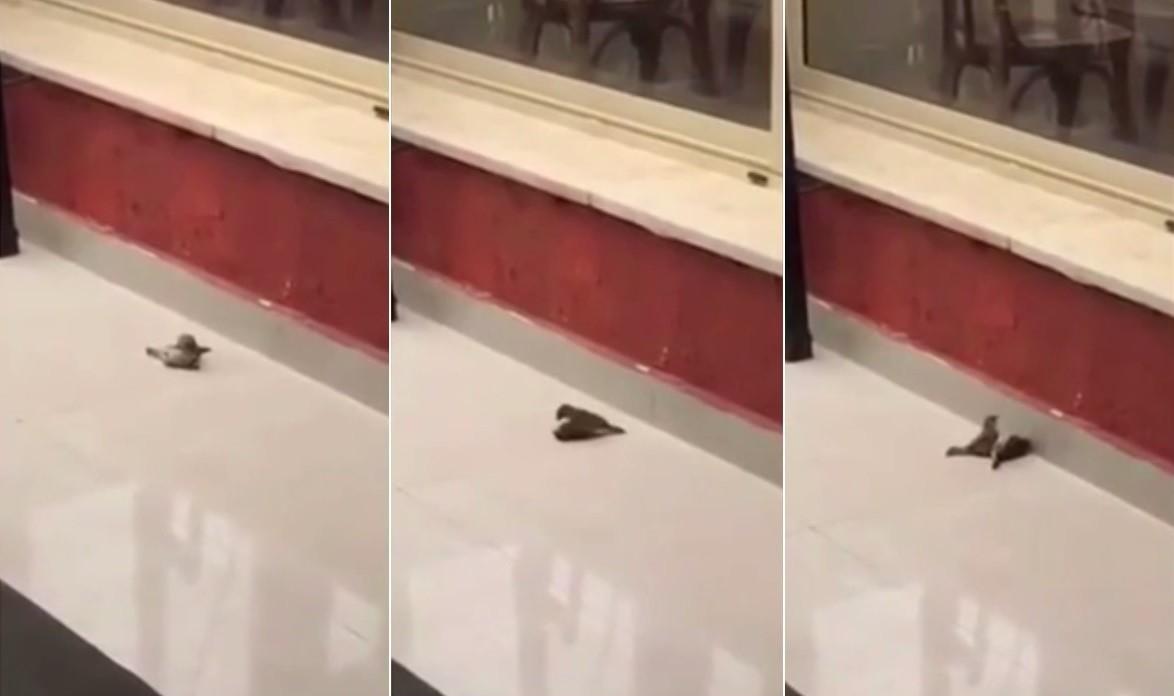 Pardal salva companheiro inconsciente