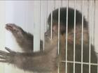 Polícia Ambiental apreende macaco que vivia com família em Campinas