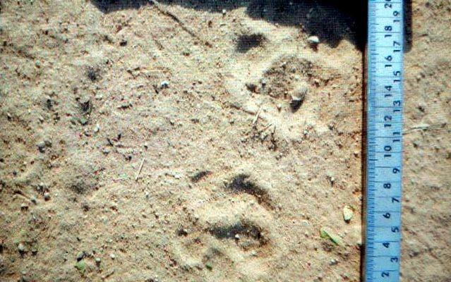 Pegada seria de leão magro e idoso, segundo agrônomo de Piracicaba (Foto: Flávio Ford/Acervo pessoal)