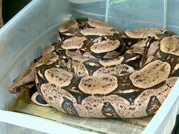 Agentes do Ibama acharam jiboia dentro de caixa de plástico em Orlândia (Foto: Reprodução / EPTV)