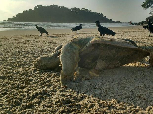 Tartaruga foi encontrada por casal de moradores em Guarujá (Foto: Valclei Lemos/Arquivo Pessoal)