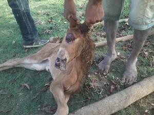 Animal morreu após o nascimento (Foto: Comunidade Cabeça D'onça/Divulgação)