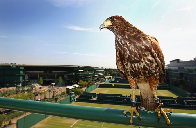 Falcão é o protetor das quadras de Wimbledon e suas tradições britânicas 5749ec10bc466