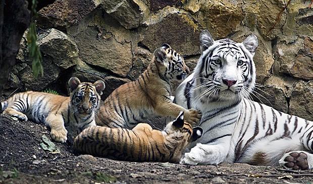 Filhotes Kanú, Hati e Bali brincam com a mãe, a tigresa de bengala Indira. (Fot Luis Robayo/AFP)
