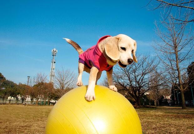 Cadela da raça beagle percorreu a distância de dez metros se equilibrando em bola de ioga (Foto: Guinness World Records/AFP)