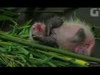 Filhote de panda gigante tenta dar os primeiros passos em zoológico