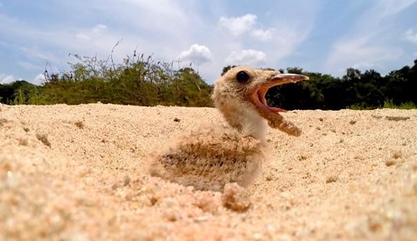 Equipe do Terra da Gente registra filhote de gaivota em praia de Rondônia (Foto: Reprodução / EPTV)