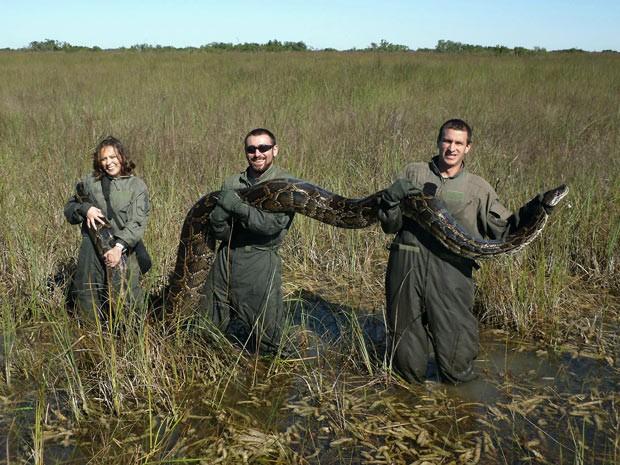 Cobra píton-birmanesa capturada em 2009 no Parque Everglades, na Flórida. A serpente tinha cerca de 5 metros de comprimento. (Foto: University of Florida, Michael R. Rochford/AP)