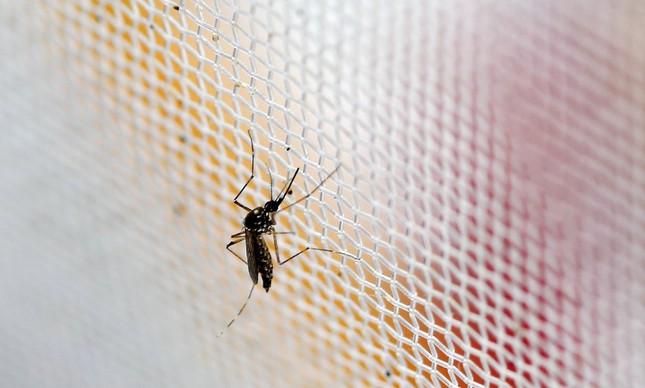 O mosquito aedes aegypti, responsável por transmitir doenças como dengue, zika e chicungunha