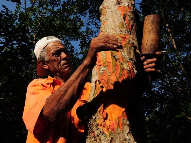 Extração da casca da árvore do Mangue Vermelho para fazer o tanino (Foto: Gabriel Lordêllo/ A Gazeta - 13/06/2011)