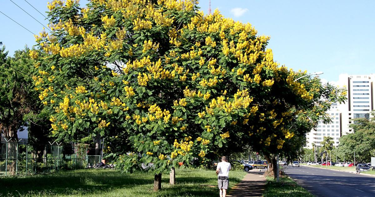 Flores de cambuís pintam de verde e amarelo área central de Brasília - Globo.com