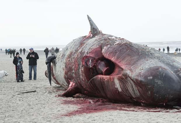 Público observa autópsia feita por biólogos em baleia cachalote encalhada em praia da Dinamarca (Fot AFP Photo / Scanpix Denmark / Claus Fisker / DENMARK OUT)