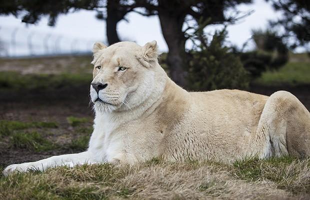 Leão branco: é uma rara mutação do leão sul-africano. A razão da cor não é o albinismo, mas uma particularidade genética chamada leucismo. Não são totalmente brancos, mas loiros claros, e não têm sensibilidade ao sol (Foto: Shutterstock)